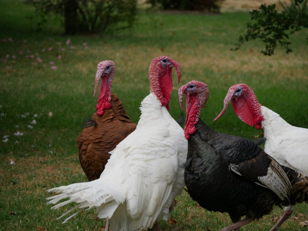 turkeys-image-revised